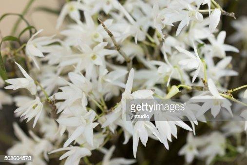 Oriental orchid Dendrobium : Stock Photo