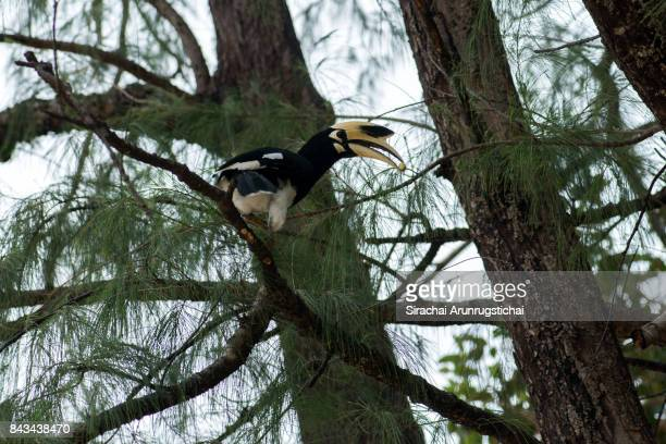 Oriental Pied Hornbill (Anthracoceros albirostris) with a fruit in its beak