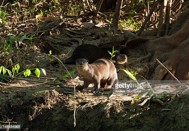 Oriental Short-clawed Otters (Aonyx cinerea) on banks of Menanggol tribituary to Sungai Kinabatangan river, near Sukau.