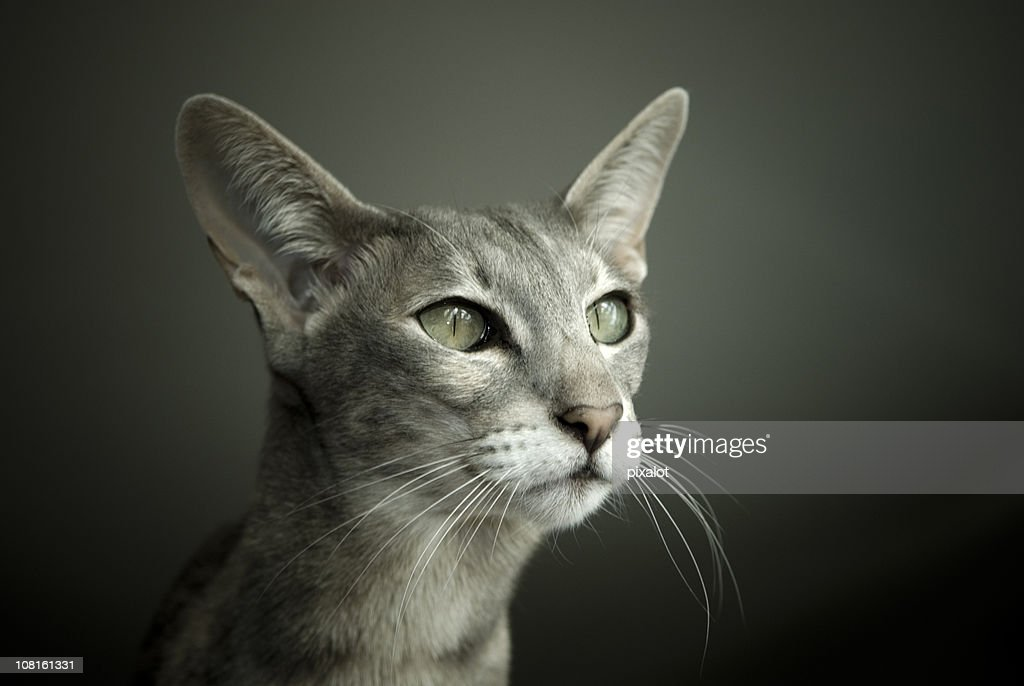 Oriental Shorthair : Stock Photo