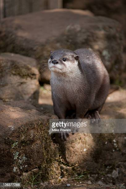 Oriental Small-clawed Otter (Aonyx cinerea) balanced on log, UK