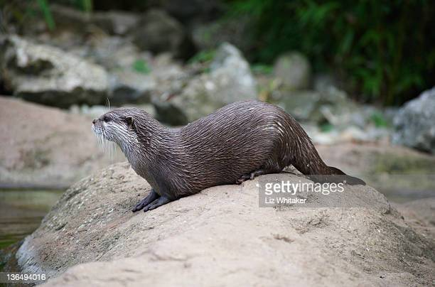 Oriental small-clawed otter, side view