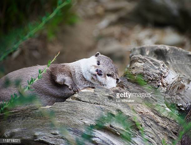 Oriental small-clawed otter sunbathing on log