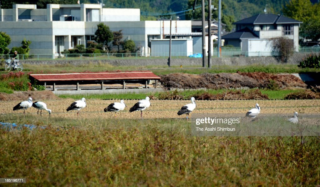 Oriental storks are observed at a rice paddy on October 17, 2013 in Tabuse, Yamaguchi, Japan. Ten of the endangered bird are observed, largest number except Toyooka city of Hyogo prefecture, where artificial breeding is in operaion.