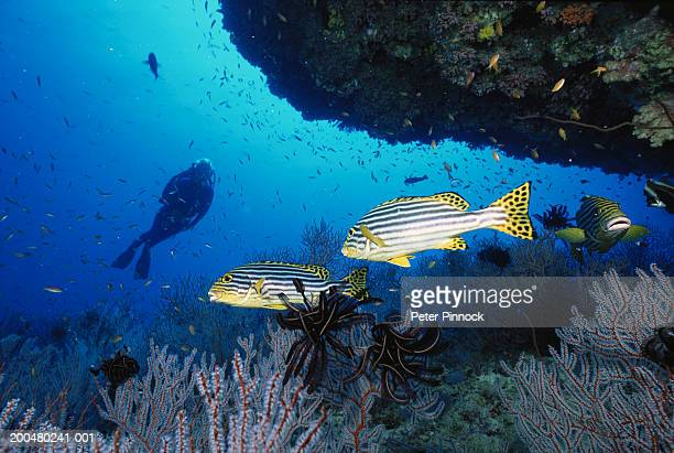 Oriental sweetlips by reef, female diver in background