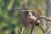 Oriental turtle dove, rufous turtle dove, Streptopelia orientalis is a member of the bird family Columbidae. The species is has a wide native distribution range from Europe, east across Asia to Japan.