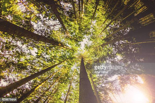 Original low point of view of a beautiful tall forest outdoor on autumn season in the Montseny nature reserve of Catalonia region with nice vanishing point of the long trees.