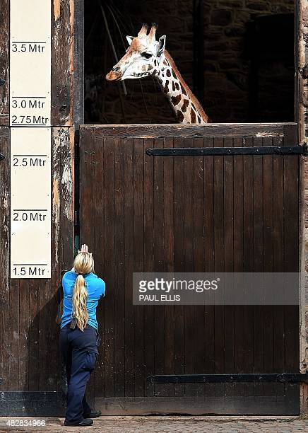 Orla the giraffe looks down at a keeper as the giraffe enclosure is closed after the zoo shows off the three calfs born at the zoo within eight...