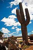 Ornamental cactus