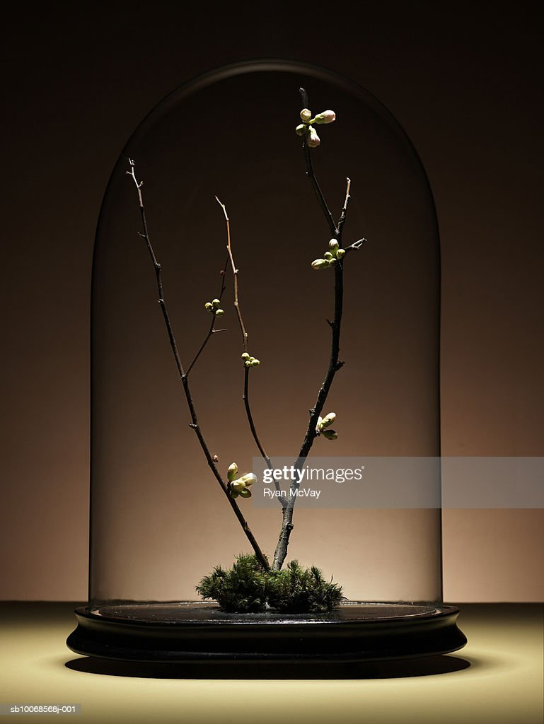 Ornamental cherry tree branches with buds under glass dome : Stock Photo