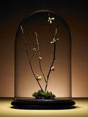 Ornamental cherry tree branches with buds under glass dome