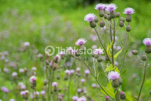 Ornamental Grass With Pink Purple Flowers Nature Background Wi Stock