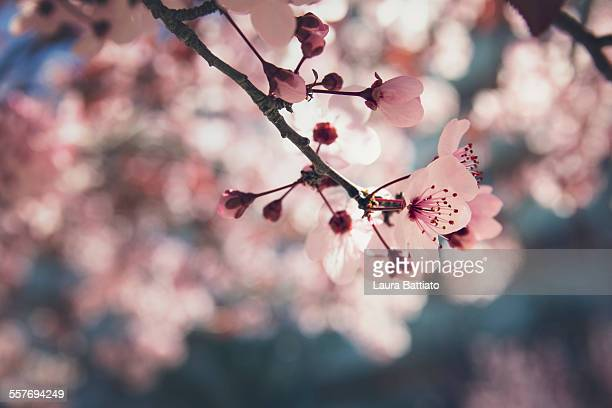 Ornamental plum flower