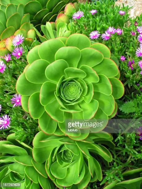 Ornamental succulent Aeonium (Pinwheel)