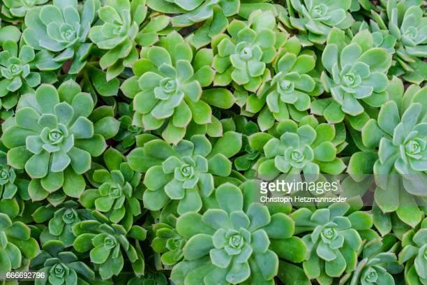Ornamental succulent aeonium