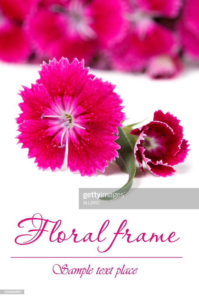 Ornate floral frame of red Dianthus barbatus flowers : Stockfoto