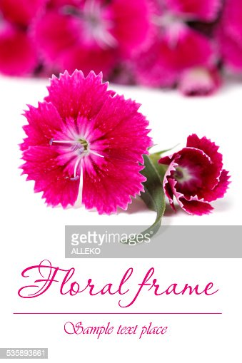 Ornate floral frame of red Dianthus barbatus flowers : Stock Photo