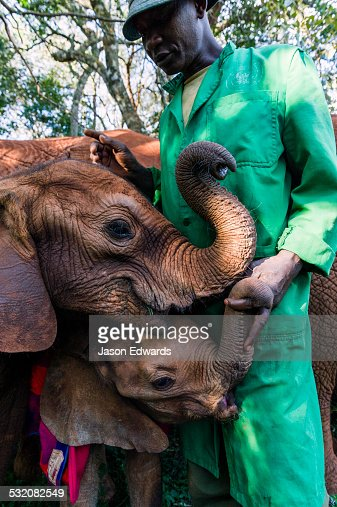 Orphaned African Elephant calves suckle on the fingers of a wildlife carer for comfort and support.