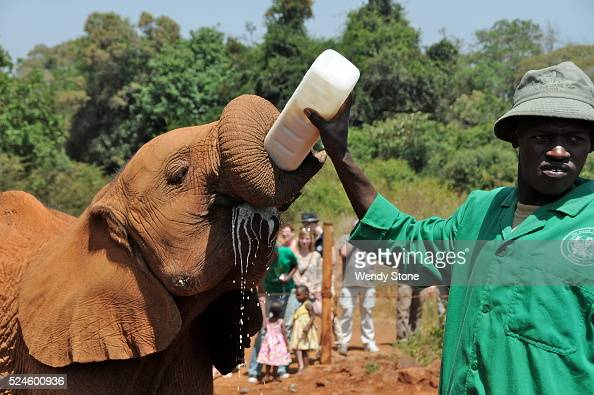 Orphaned baby elephants are brought from the National Park for a mudbath at the Nairobi National Park in Kenya The orphaned baby elephants are...