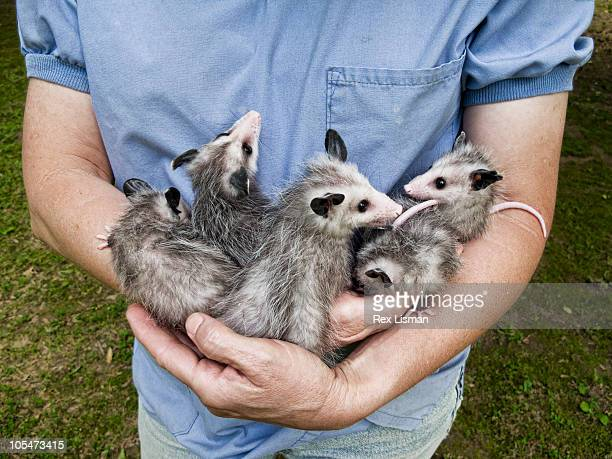 Orphaned baby Opossums