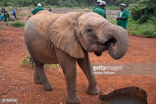Orphaned elephants are fed during tourist visiting hours at the David Sheldrick Wildlife Trust at the Tsavo National Park in Kenya