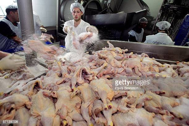 Orthodox Jewish rabbis throw kosher salt on cleaned chickens at the Jerusalem Chicken Factory March 20 2006 in Jerusalem Israel Chickens are...