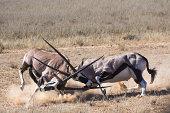Oryx gazella in battle