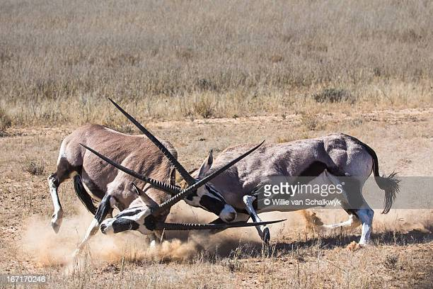 Oryx gazella in battle
