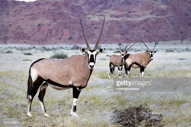 Oryx Herd in Naukluft Mountains, Namib Desert