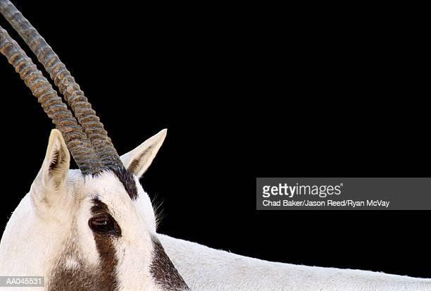 Oryx looking away, close-up