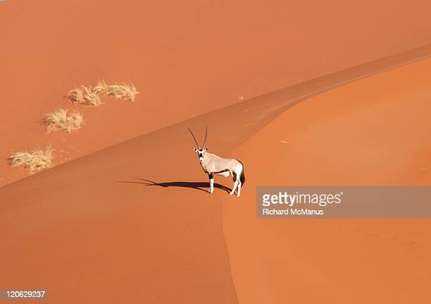 Oryx on dune in Namibia