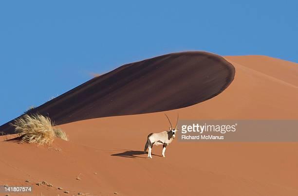 Oryx on dune