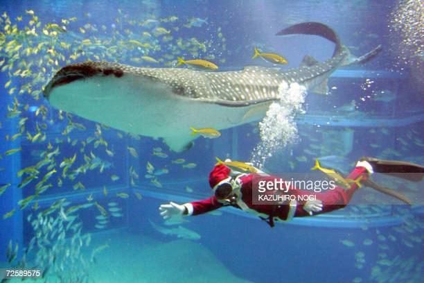 A diver clad a Santa Claus costume swims with a female whaleshark some six meters in length in a large fish tank as part of a Christmas event at...