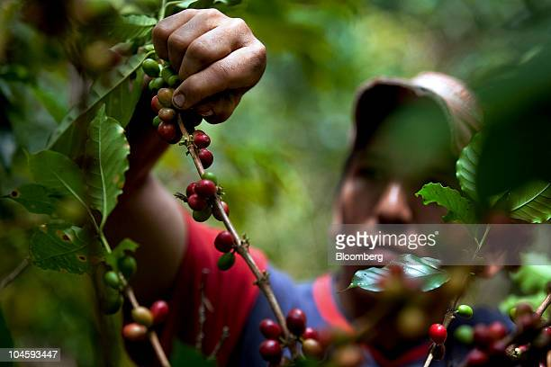 Oscar Alarcon harvests coffee berries also known as 'cherries' on a plantation in Socorro Colombia on Thursday Sept 23 2010 Colombian coffee growers...