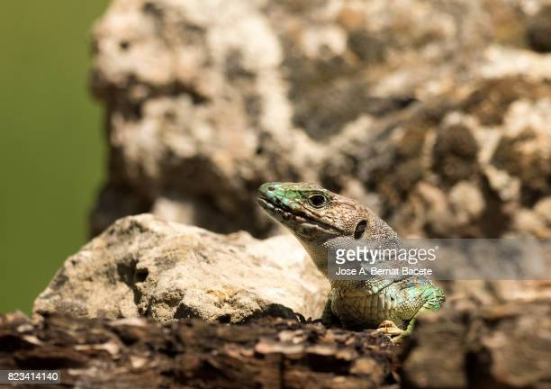 Oscellated lizard (Timon lepidus) in rocky habitat. Spain