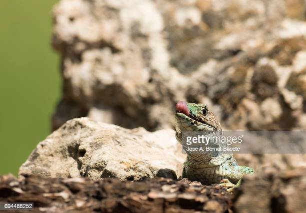 Oscellated lizard (Timon lepidus) in rocky habitat, with the mouth open and the tongue out. Spain
