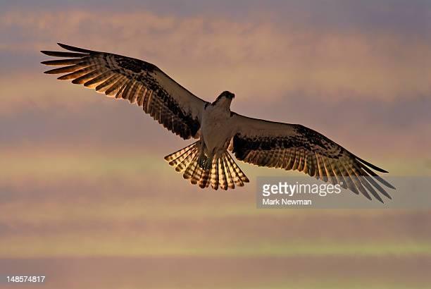 Osprey (pandion haliaetus) in flight.