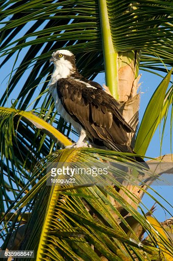 Osprey in Palm 1 : Stock Photo