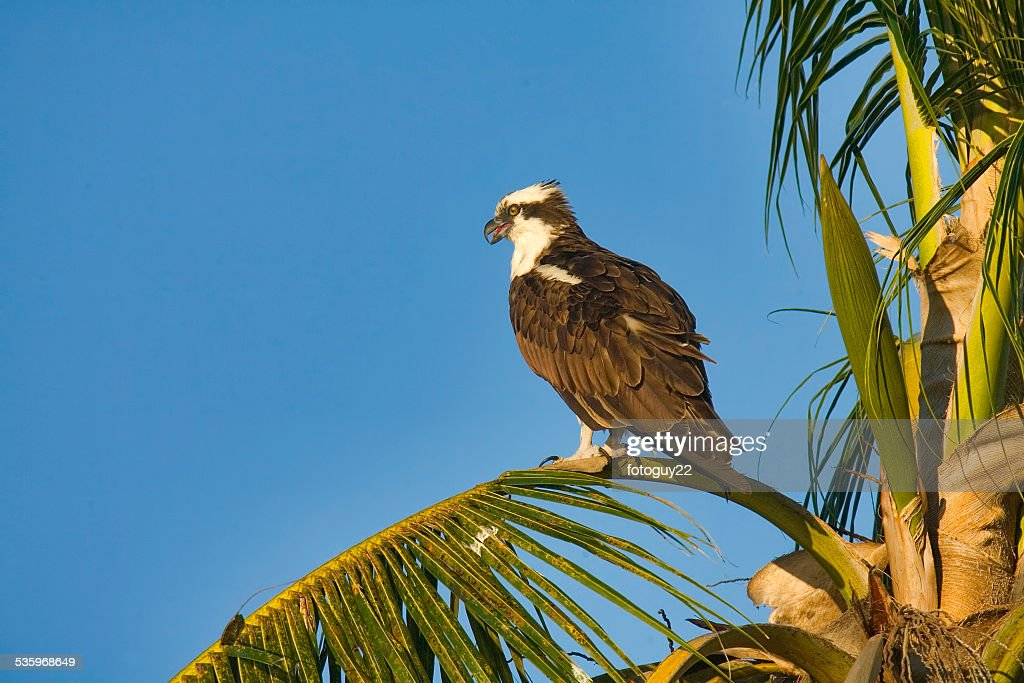 Osprey in Palm 2 : Stock Photo
