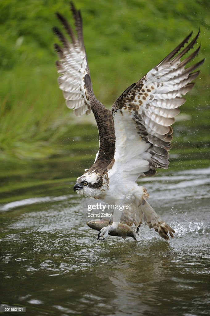 Osprey -Pandion haliaetus- taking flight after an unsuccessful hunt, Pothiolampi, Kangasala, Westfinnland, Finland
