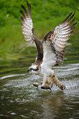 Osprey -Pandion haliaetus- taking flight after an unsuccessful hunt, Pothiolampi, Kangasala, Westfinnland, Finland