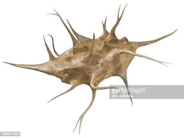 Osteocyte Mature cell constituent element of bone tissue
