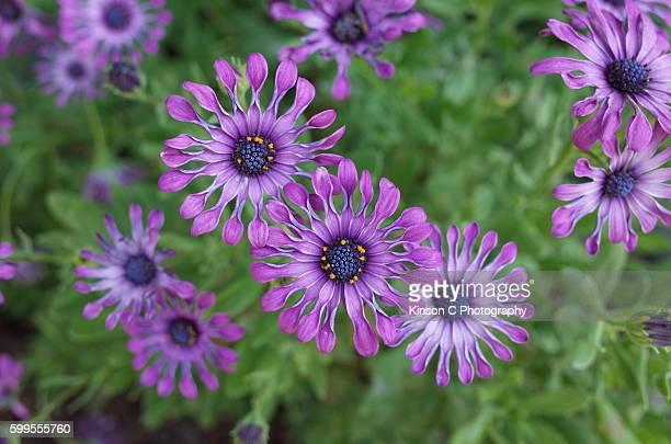 Osteospermum 'Soprano Lilac Spoon'