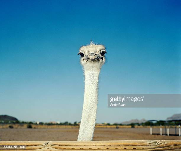 Ostrich (Struthio camelus) behind fence, close-up