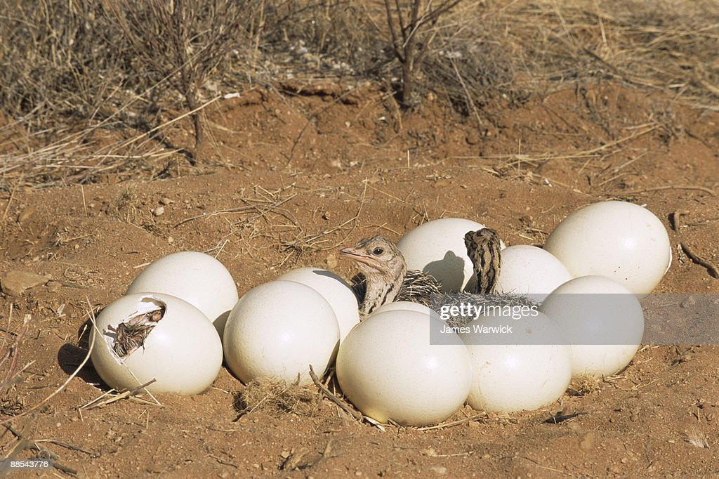 Ostrich chicks with hatching eggs : Stock Photo
