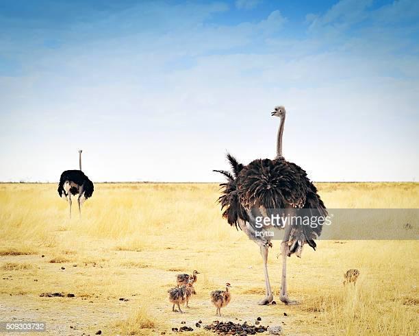 Avestruz familia con pollos en Parque nacional de Etosha, Namibia