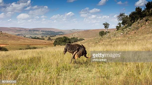 Ostrich grazing, Sterkfontein DMA, Gauteng, South Africa