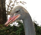 A stunningly detailed shot of an Ostrich's head.