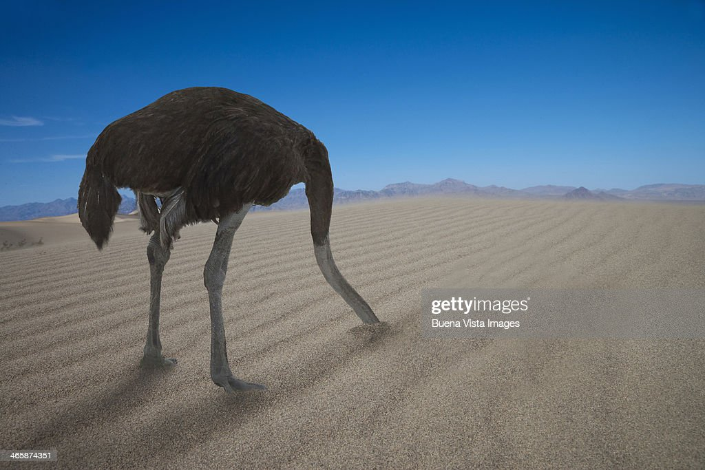 Ostrich hiding his head under  sand : Stock Photo