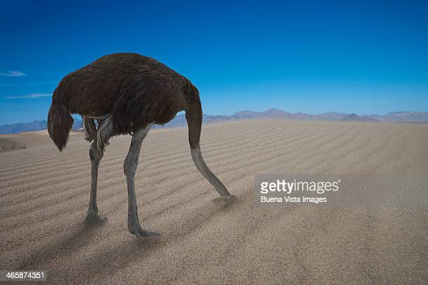 Ostrich hiding his head under  sand